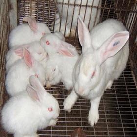Thỏ Newzealand giá sỉ