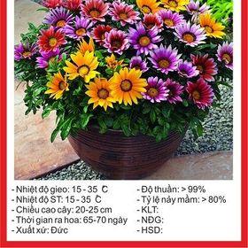 Hạt giống hoa Cúc Huân Chương - 50 hạt giá sỉ