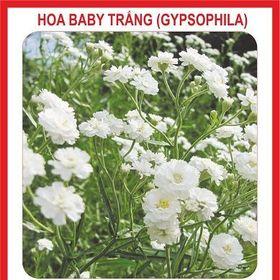 Hạt giống hoa Baby Trắng - 100 hạt giá sỉ