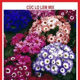 Hạt giống hoa Cúc lọ Lem - 5 Hạt giá sỉ