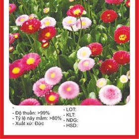 Hạt giống hoa Cúc Anh Mix - 100 hạt giá sỉ
