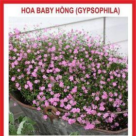 Hạt giống Hoa Baby Hồng - 100 hạt giá sỉ