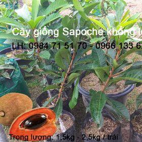 Cung cấp cây giống sapoche khổng lồ giá sỉ