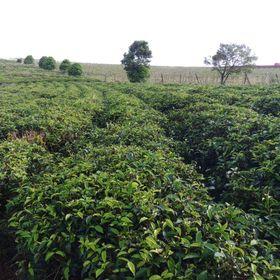 Cây trà xanh bonsai bán sỉ giá sỉ