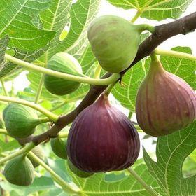10 Hạt giống Sung Mỹ ngọt giá sỉ