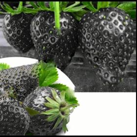 100 hạt giống dâu tây đen giá sỉ