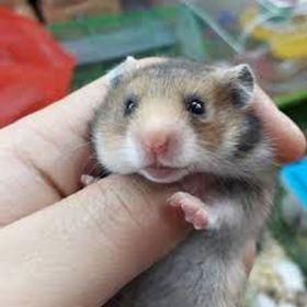 Chuột hamster - Bear
