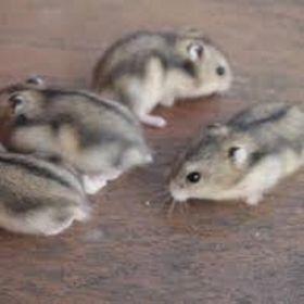 Chuột hamster - Winter White