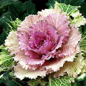 Hạt giống hoa bắp cải – Bịch 10 hạt giá sỉ