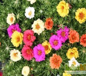 Hạt giống hoa mười giờ mỹ kép mix màu giá sỉ