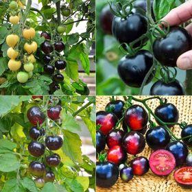 Hạt giống Cà chua đen INDIGO 5 hạt giá sỉ