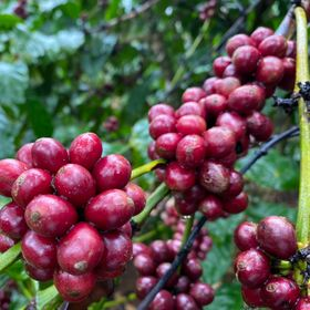 Cà phê Arabica rang mộc nguyên chất 100% giá sỉ