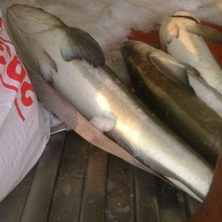 Cá bóp giá sỉ