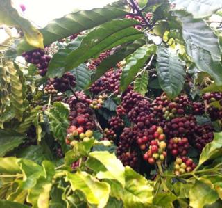 Cà phê hạt rang xay giá sỉ