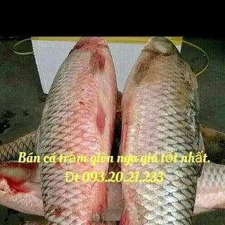Chuyên cung cấp cá trắm giòn giá sỉ giá sỉ