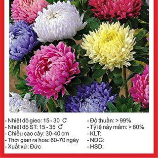 Hạt giống hoa Cúc Đài Loan - 50 hạt giá sỉ