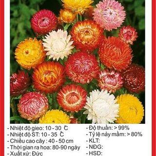 Hạt giống Cúc Bất Tử - 100 hạt giá sỉ