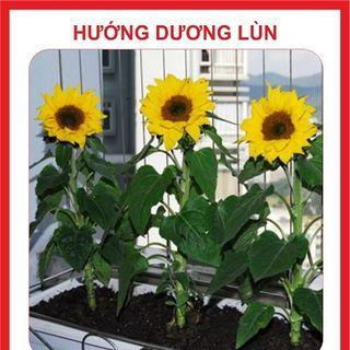 Hạt giống Hoa hướng dương lùn – 15 hạt giá sỉ