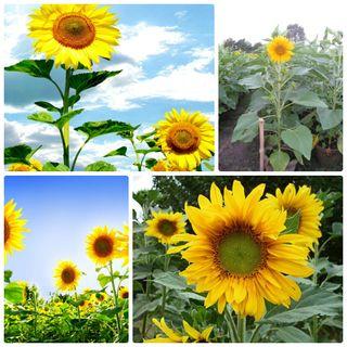 Hạt giống Hoa hướng dương – Gói 30 hạt giá sỉ