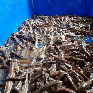 Cá thòi lòi biển giá sỉ