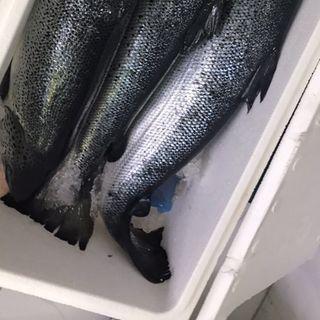 Cá hồi Na Uy giá sỉ