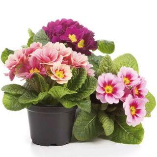 Hạt giống hoa chào xuân – Bịch 10 hạt giá sỉ