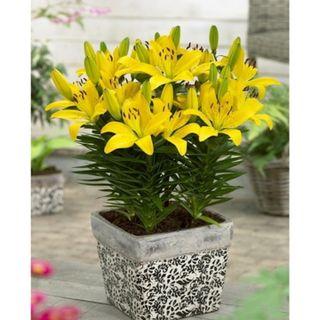 Hạt giống hoa loa kèn – Bịch 10 hạt giá sỉ