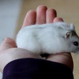Chuột hamster - Campel giá sỉ