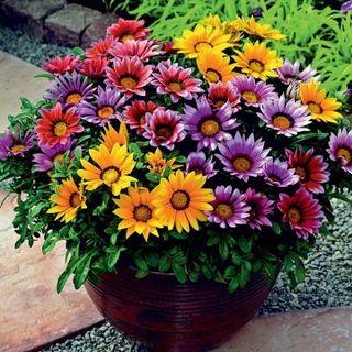 Hạt giống hoa cúc Gazania – Bịch 10 hạt giá sỉ